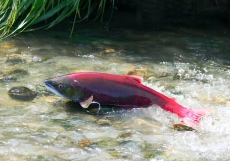 sockeye-salmon
