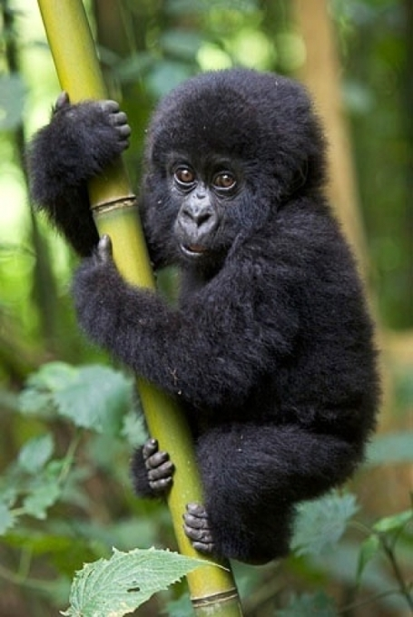 l-Gorilla-squee